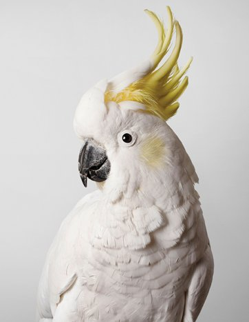 Slim, Sulphur-Crested Cockatoo by Leila Jeffreys