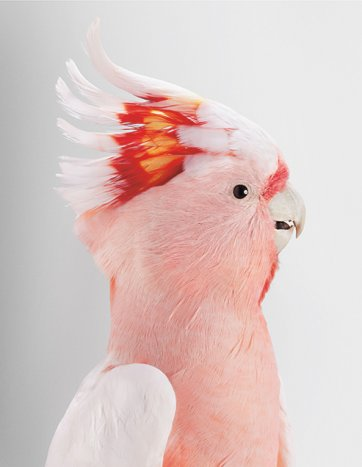 Neville, Major Mitchell's Cockatoo by Leila Jeffreys