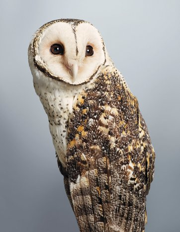 'Tani' no.1, Masked Owl  by Leila Jeffreys