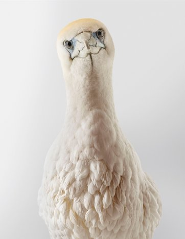 Chicken, Australasian gannet by Leila Jeffreys