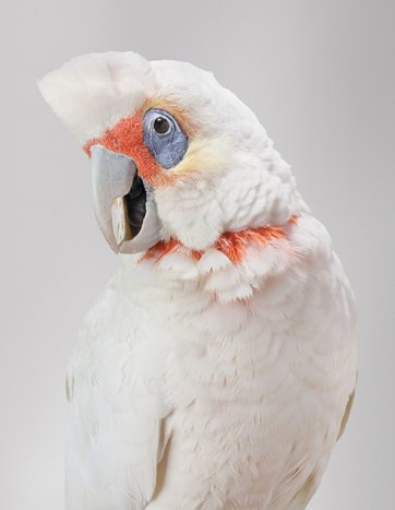 Bob, Long-billed Corella by Leila Jeffreys