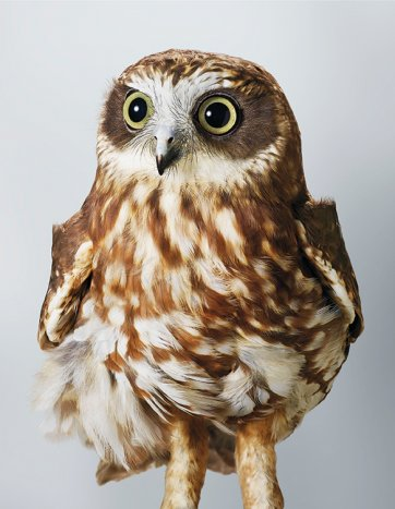 'Pepper', Southern Boobook Owl by Leila Jeffreys